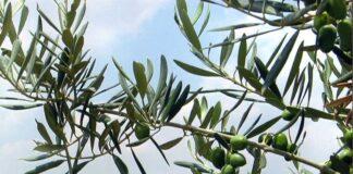 ulivo olive